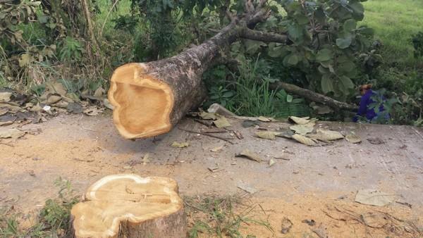 Dirección de Medio Ambiente reconoce que se talaron árboles sanos