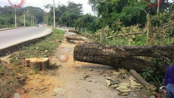Falso que árboles derribados hayan cumplido con ciclo de vida: Ceiba Jaguar