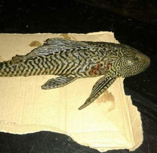 Aparece pez raro en el rio Valle Nacional