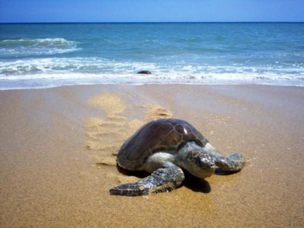 Monitorean costas de Guerrero, Oaxaca y Chiapas por muerte de tortugas