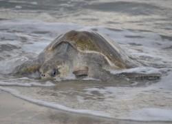 Procuraduría ambiental investiga muerte de 28 tortugas en Oaxaca