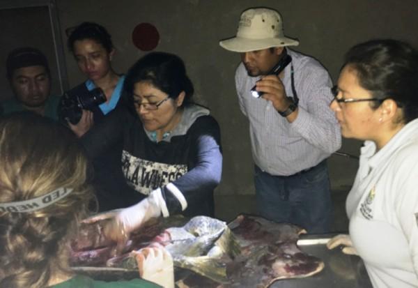 Mortandad de tortugas en costas de Oaxaca, fue por parásitos