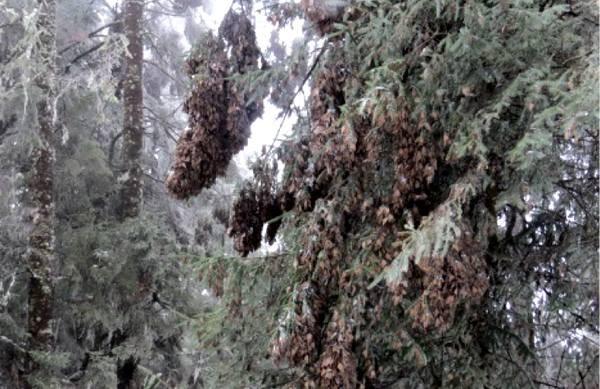 Las mariposas monarca resisten ante la nevada en los sitios de hibernación