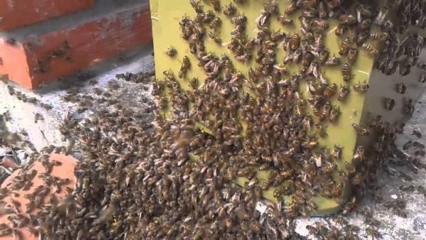 Reportan 2 decesos por picaduras de abejas en Tuxtepec