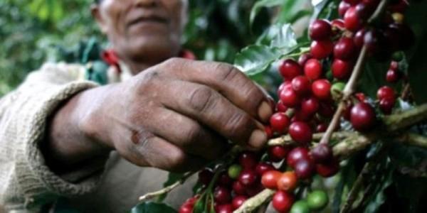 Falta de atención al sector cafetalero de Oaxaca genera crisis