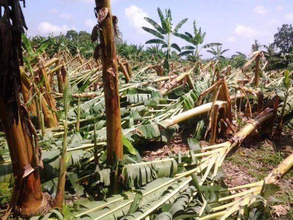 Más de 400 hectáreas de plátano afectadas en San Bartolo