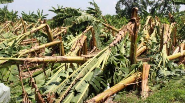 Reportan productores pérdidas en mil hectáreas de plátano por siniestros