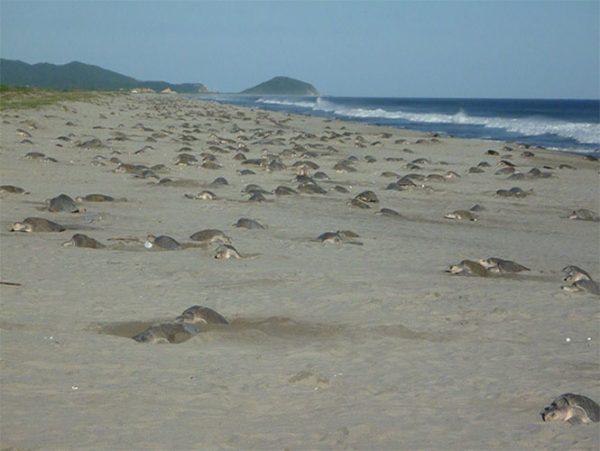 Más de 60 mil tortugas golfinas llegan a playa de Oaxaca