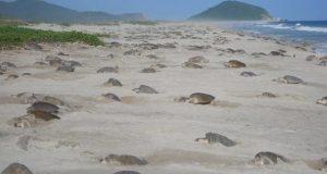 Implementan operativo de protección de tortuga marina en Playa de Escobilla