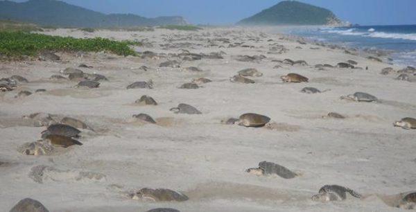 Desovan mil 657 tortugas en playa de Oaxaca
