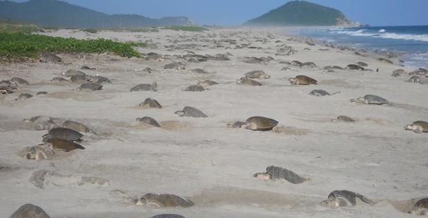 Niños y personal de la Semar liberan tortugas en playa de Oaxaca