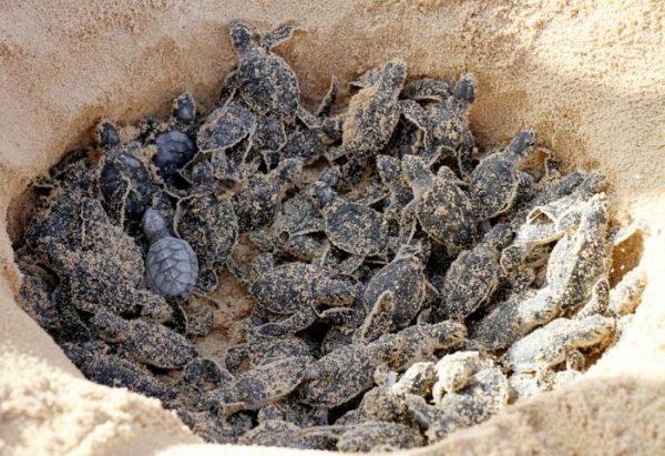 Protegen a más de 382 mil nidos de tortugas marinas en Oaxaca