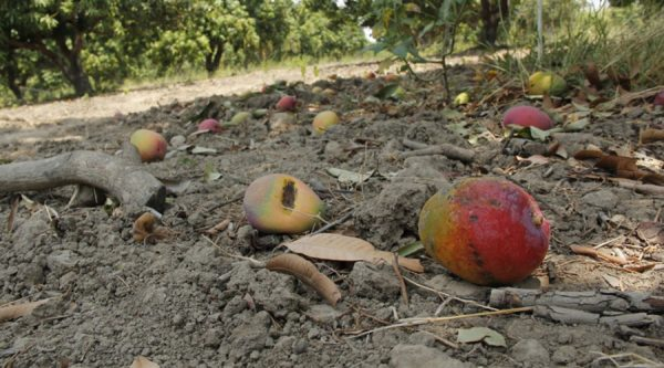 Arrasan plagas con cultivos, en el Istmo