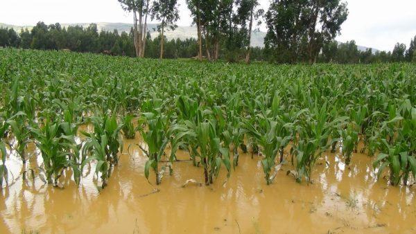 Hay 473 hectáreas de cultivos siniestradas por lluvias en la Cuenca
