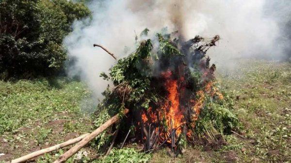 Detectan más de media hectárea con plantaciones de marihuana en Oaxaca
