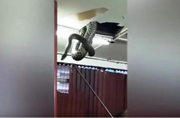 #VIDEO Serpiente rompe el techo y aterroriza a comensales