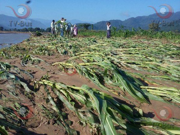 80 hectáreas de cultivos dañados por desbordamiento del rio Valle Nacional