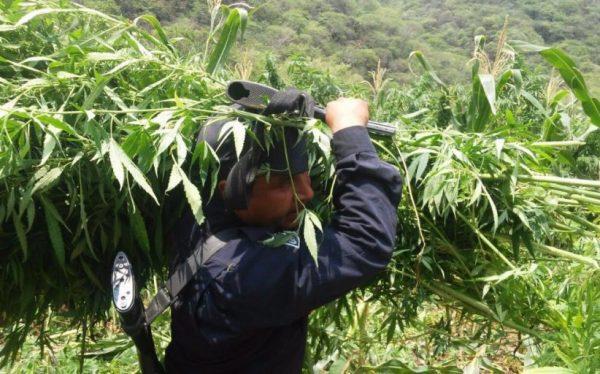 Destruye PGR dos plantíos de marihuana en Oaxaca