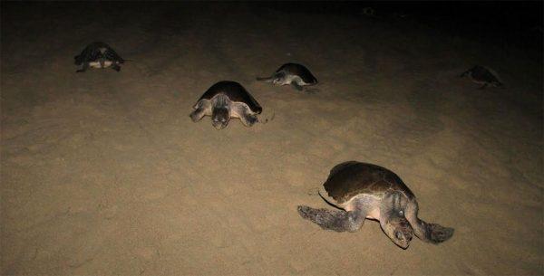 Más de 1 millón de tortugas protegidas en playas de Oaxaca