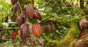Tras sobrevivir de recursos propios, gobierno apoyará a productores de cacao