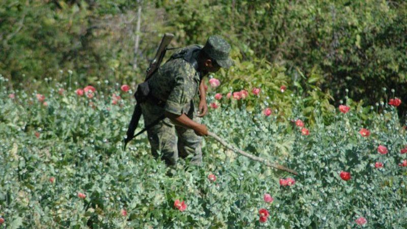 Fuerzas federales destruyen plantío de amapola en Oaxaca