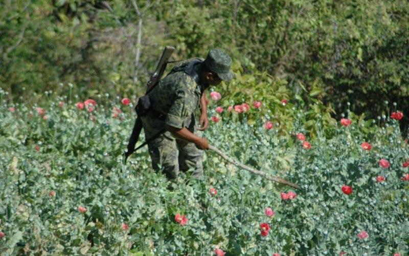 Yautepec es principal productor de amapola en Oaxaca: Sedena