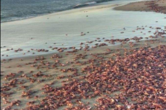 Aparecen miles de cangrejos en playa de Oaxaca