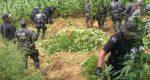 Hallan 192 toneladas de amapola en sembradíos de Oaxaca
