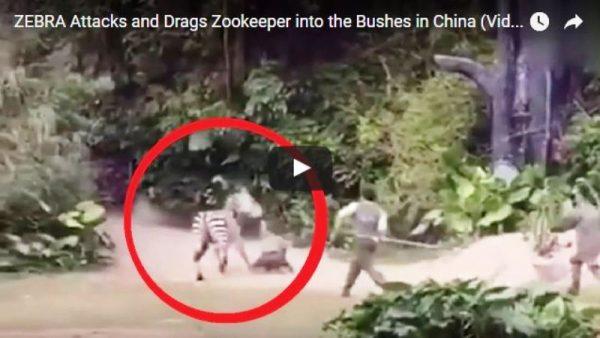 #VIDEO Cebra ataca ferozmente a cuidador en zoo de China