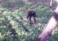 Se dispara en 300% plantíos de amapola en Oaxaca