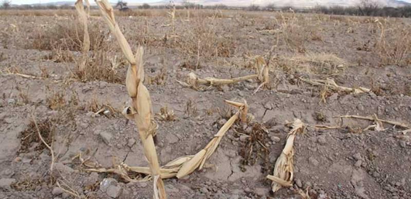 Reportan productores de maíz mil hectáreas afectadas por sequías