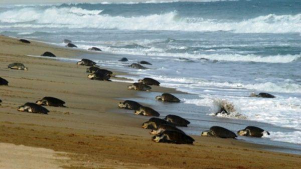 Arriban 873 mil 746 tortugas golfinas a playa de Oaxaca