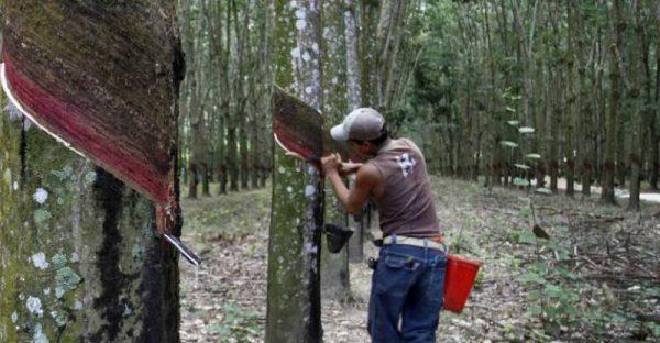 Ayuntamiento de Tuxtepec producirá 60 mil plantas de hule