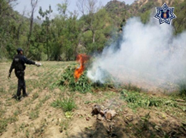 Destruyen más de 700 metros cuadrados de marihuana durante operativo conjunto: SSPO