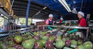 Entrega Murat más de 5.5 mdp a productores de mango en el Istmo
