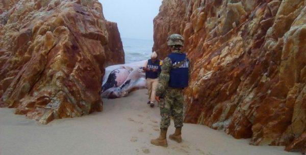 Encuentran ballena muerta en playa de Salina Cruz