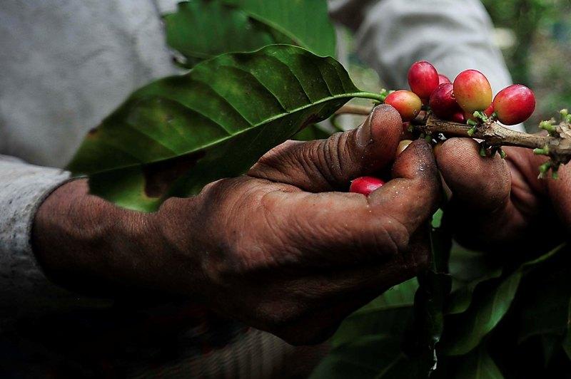 Esperan cafeticultores de Valle abundante producción, tras afectaciones por la Roya
