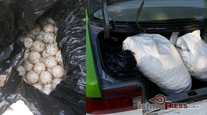Decomisa policía federal 5 mil huevos de tortuga en Puerto Escondido