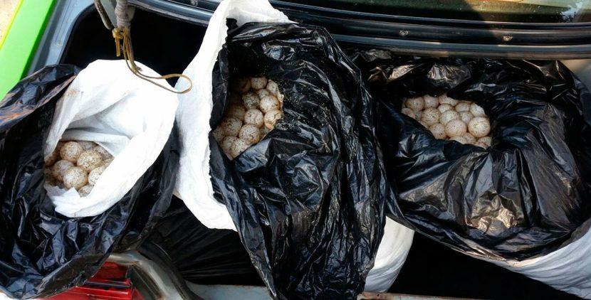 Asegura Policía Federal más de 5 mil huevos de tortuga en la Costa