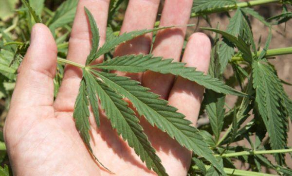 Ya es legal la marihuana medicinal en México