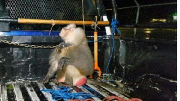 Recuperan a babuino luego de que atacara a niña en Puerto Escondido