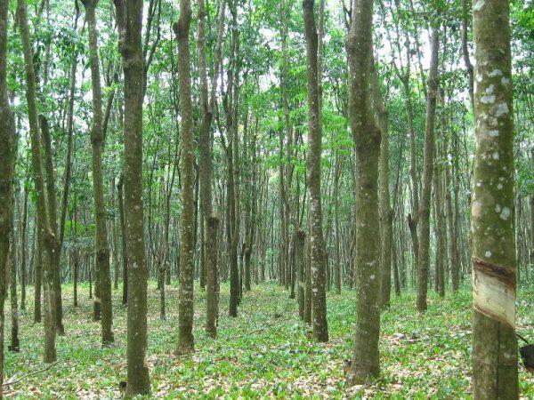 Con llegada de empresa POLYMERS, reactivarán plantaciones de Hule