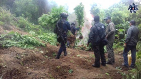 Más de 900 metros cuadrados de marihuana fueron destruidos en Ejutla