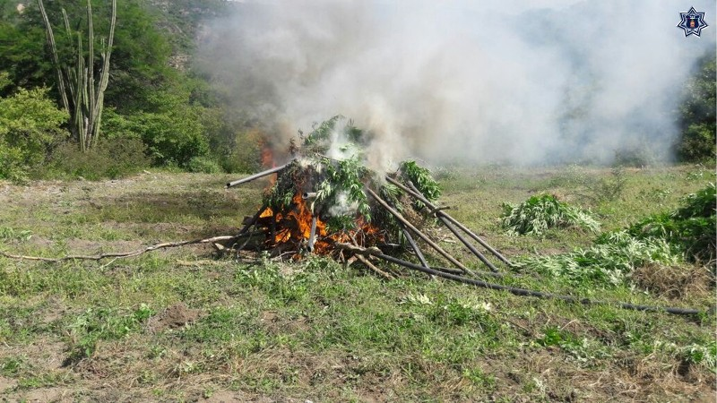 Tres plantíos de marihuana fueron destruidos en un operativo coordinado: SSPO