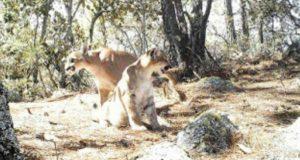 Captan en video y fotos a 5 especies de felinos en Oaxaca