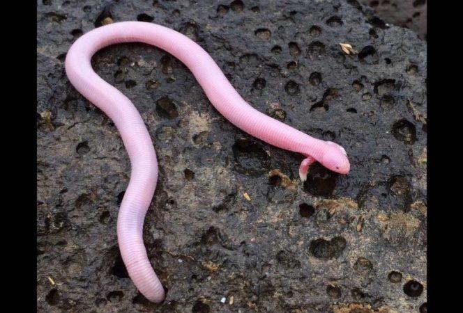 Este es el 'mítico' reptil de dos patas que sorprendió a bióloga