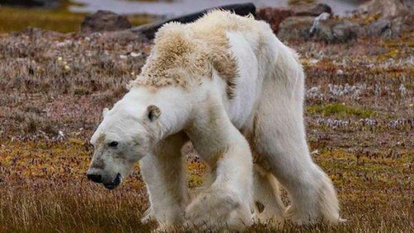 La dramática imagen de un oso polar moribundo en un ecosistema sin hielo