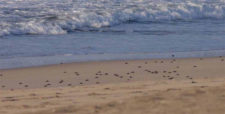 Eclosión de tortugas en playas de Oaxaca