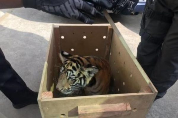 Policía Federal asegura cachorro de tigre en Oaxaca