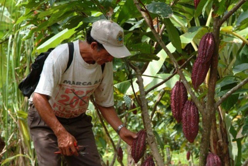 Falta de organización entre productores, desaprovecha la producción de cacao en la región: SPC